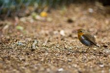 A Robin Redbreast Royalty Free Stock Images