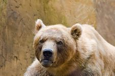 Free Brown Bear Royalty Free Stock Image - 2849956