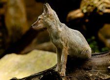Free Corsac Fox Stock Photography - 2849982