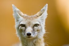 Free Corsac Fox Royalty Free Stock Photography - 2849997