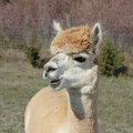 Free Alpaca With Teeth Showing Royalty Free Stock Image - 28400326