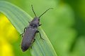 Free Click Beetle Royalty Free Stock Photo - 28401935