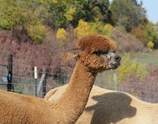 Free Brown Alpaca In A Fall Pasture Stock Photos - 28400353