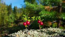 Free Cowberries In Forest Stock Photography - 28405702