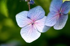 Free Hydrangea Royalty Free Stock Images - 28407089