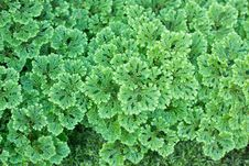 Free Selaginella Apoda Stock Photos - 28407313