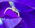 Free Macro Shot Of A White Crab Spider Stock Photo - 28410610