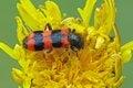 Free Beetle &x28;Trichodes Apiarius&x29; Royalty Free Stock Photos - 28411578