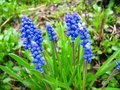 Free Some Beautiful Blue Flowers Of Muscari Royalty Free Stock Photography - 28413597
