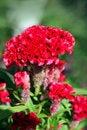 Free Violet Celosia Flower Stock Photo - 28418050