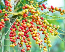 Red And Yellow Betel Nut Stock Images