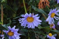 Autumn Aster. Flower. Royalty Free Stock Photo