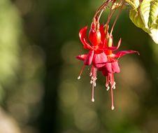 Free Hanging Fuchsia Flower Stock Image - 28412731
