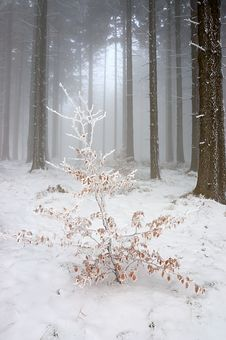 Free Winter Forest Stock Image - 28412851