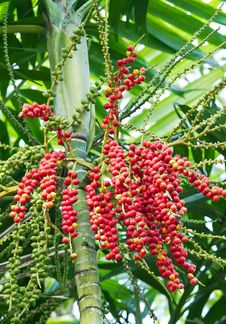 Free Red And Yellow Betel Nut4 Royalty Free Stock Photos - 28415578