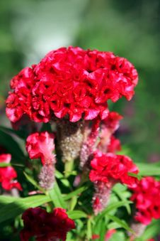Free Violet Celosia Flower Stock Photo - 28418050
