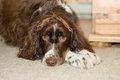 Free Adorable Springer Spaniel Dog Royalty Free Stock Photos - 28421728