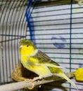 Free Canary Stock Photos - 28428623