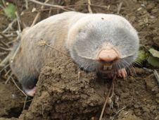 Free Mole On A Clod Royalty Free Stock Image - 28420386