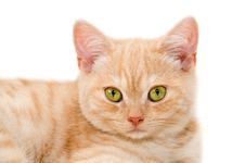 Free Red Kitten Royalty Free Stock Photography - 28421437