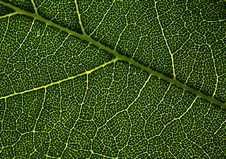 Free Leaf Veins. Stock Image - 28424631