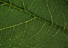 Free Leaf Veins. Stock Image - 28424631
