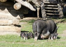 Free Pigs At Farm Royalty Free Stock Photo - 28429895