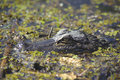 Free Crocodile In The Swamp Royalty Free Stock Photography - 28432307