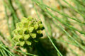 Free Sea Pine Fruits. Royalty Free Stock Image - 28433896