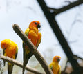 Free Parrots &x28;Aratinga Solstitialis&x29; Royalty Free Stock Image - 28436016