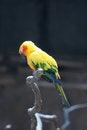 Free Sleeping Parrot &x28;Aratinga Solstitialis&x29; Stock Image - 28436051
