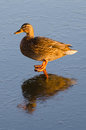 Free Duck Female With Ice Reflection Royalty Free Stock Photos - 28436408