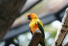 Free Parrot &x28;Aratinga Solstitialis&x29; Royalty Free Stock Images - 28435999