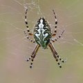 Free Oak Spider Royalty Free Stock Photography - 28442307