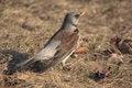Free Snowbird Close Up Royalty Free Stock Images - 28442739