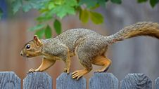 Free Squirrel On A Fence Royalty Free Stock Photo - 28440115