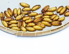 Free Silkworm Pupa Stock Photos - 28443673