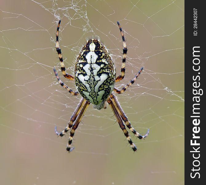 Oak spider