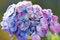 Free Hydrangea Stock Photography - 28449902