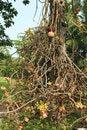 Free Cannon Ball Tree. Royalty Free Stock Photos - 28452838