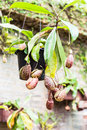 Free Tropical Pitcher Plants Or Monkey Cups Stock Image - 28457321