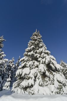 Free Closeup Of Christmas Tree Covered With Snow Royalty Free Stock Photography - 28452657