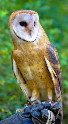 Free Colorful Barn Owl Stock Photos - 28453443
