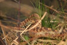 Free Bullsnake In Grass Stock Image - 28453791