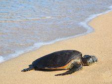 Free Hawaiian Green Sea Turtle &x28;honu, Chelonia Mydas&x29; Stock Photos - 28455083