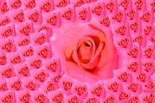 Free Pink Rose Blooming Royalty Free Stock Photo - 28459545