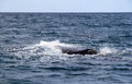 Free Right Whale In The Atlantic Ocean. Stock Photography - 28464252