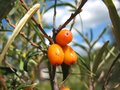 Free Sea-buckthorn Stock Image - 28464411