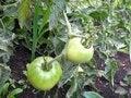 Free Tomato Stock Photo - 28464560