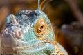 Free Iguana&x27;s Head Stock Photo - 28467810